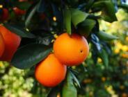 Portakal Yaprağının Bakın Faydaları Neler!